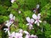 pelargonium-fruticosum
