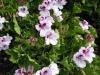 pelargonium-light-pink-with-purple-eye