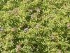 pelargonium-radens