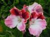 pelargonium-strawberry-sundae