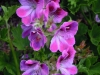 pelargonium-two-tone-pink