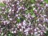 penstemon-digitalis-green-leaf