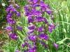 penstemon-purple