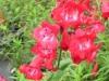 penstemon-red