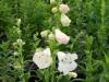 penstemon-white