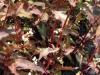 persicaria-purpurea