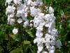 phlox-maculata-white