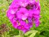 phlox-paniculata-purple