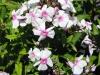phlox-paniculata-white-with-pink-eye