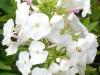 phlox-paniculata-white