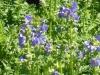 polemonium-caerulium-blue
