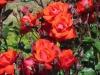 rose-satchmo