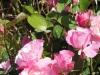 rose-simplicity