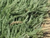 rosemary-repens