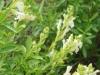 salvia-greggii-white