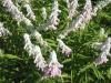 salvia-leucantha-danielles-dream