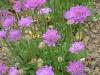 scabious-vivid-violet