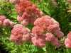 sedum-spectabile-autumn-joy