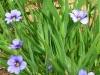 sisirynchium-graminoides