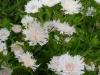 stokesia-laevis-white
