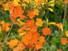 streptosolen-jamesonii-orange-form