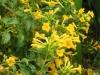 streptosolen-jamesonii-yellow