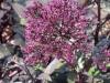 trachelium-caerulium-purple