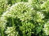 trachelium-caerulium-white