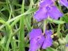 tradescantia-virginiana-blue