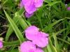 tradescantia-virginiana-purple-pink