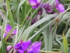 tradescantia-virginiana-red-grape