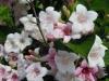 weigela-apple-blossom