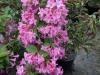 weigelia-deep-pink